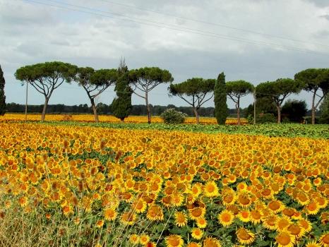 sunflowers near Nozzano Castello