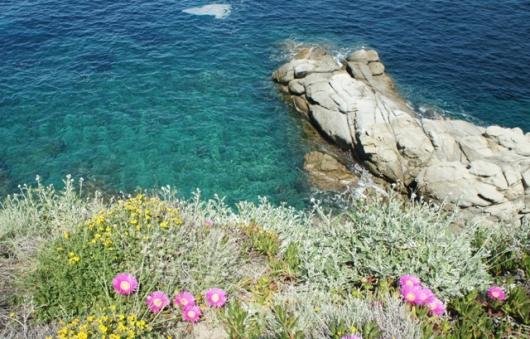 scogliera con fioritura a Sant'Andrea - Cotoncello a