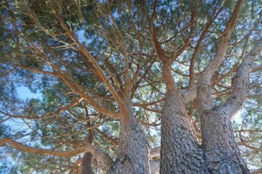 un enorme pino